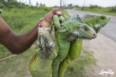 Roadside Iguana Vendors, East Bank Demerara, Guyana